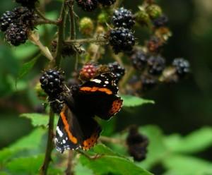 blackberrybutterfly
