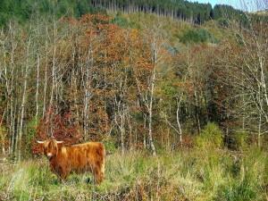 hafod-cattle2