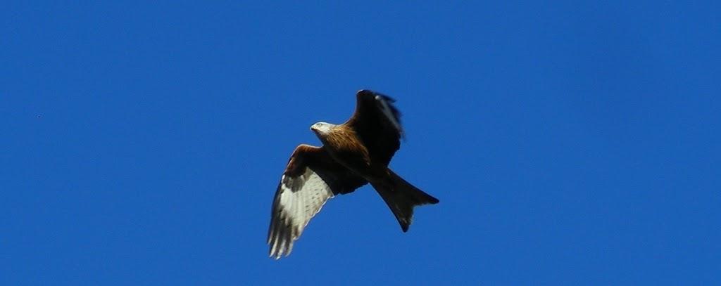 red-kite3