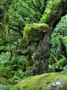 A Dryad of Wistman's Wood, Dartmoor