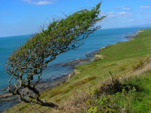 hawthorn-on-cliff