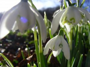 snowdrops feb 08 004